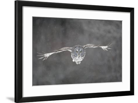 Great Grey Owl Flight--Framed Art Print