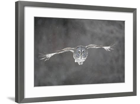 Great Grey Owl Flight--Framed Art Print