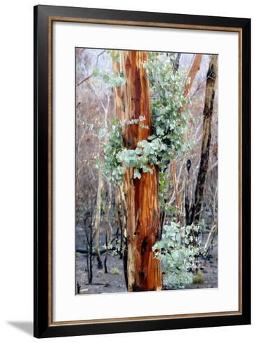 Regrow on Gum Trees after Bush Fire--Framed Art Print