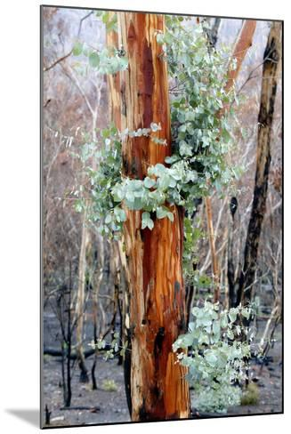 Regrow on Gum Trees after Bush Fire--Mounted Photographic Print