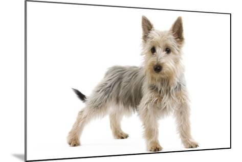Australian Silky Terrier Puppy in Studio--Mounted Photographic Print