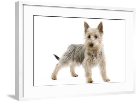 Australian Silky Terrier Puppy in Studio--Framed Art Print