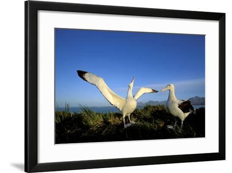 Wandering Albatross Courtship Display--Framed Art Print