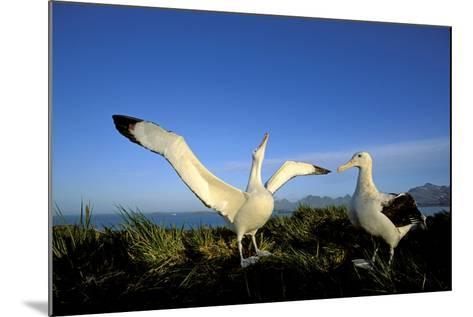 Wandering Albatross Courtship Display--Mounted Photographic Print