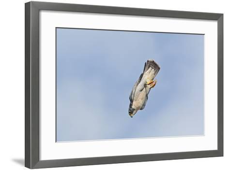 Peregrine Falcon Adult in Flight--Framed Art Print