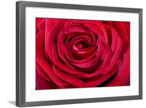 Red Rose--Framed Art Print