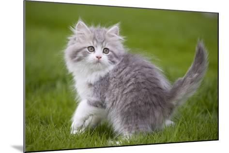 British Longhair 8 Week Old Kitten Outside--Mounted Photographic Print