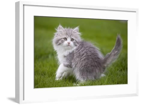 British Longhair 8 Week Old Kitten Outside--Framed Art Print