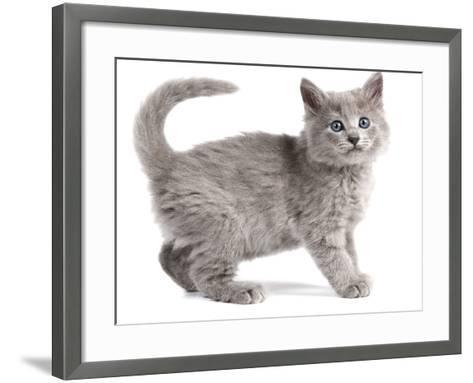 Nebelung Kitten--Framed Art Print