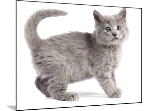 Nebelung Kitten--Mounted Photographic Print