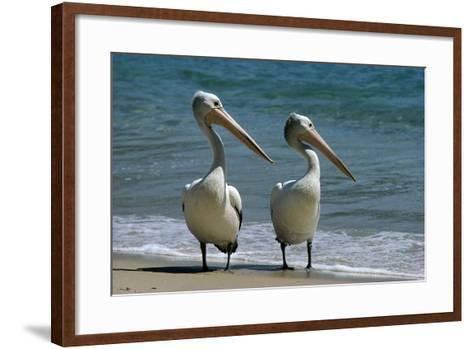 Australian Pelican Two Birds at Wateros Edge--Framed Art Print