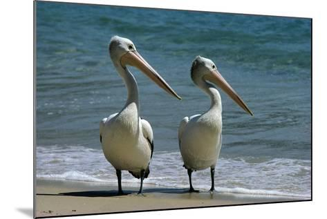 Australian Pelican Two Birds at Wateros Edge--Mounted Photographic Print