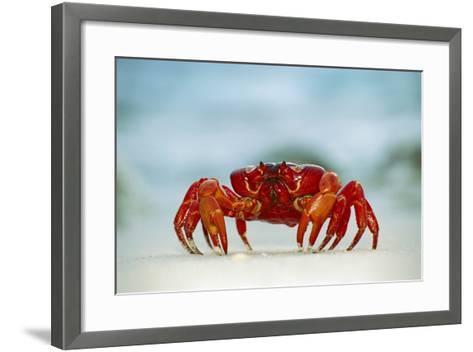 Land Crab Single Crab on Beach Close Up--Framed Art Print