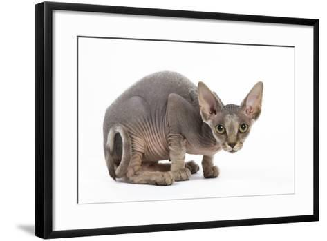 Sphynx Kitten 4 Months Old--Framed Art Print