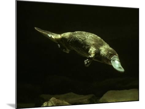 Platypus Underwater--Mounted Photographic Print
