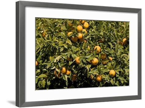 Oranges on Tree--Framed Art Print