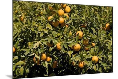Oranges on Tree--Mounted Photographic Print