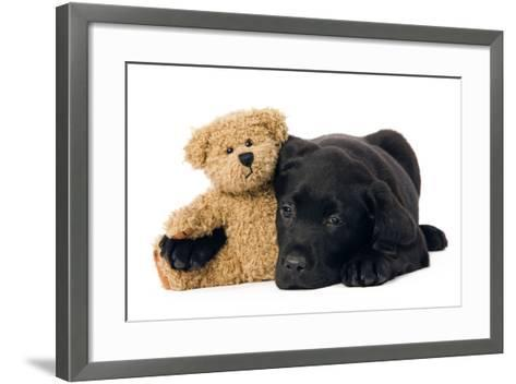 Black Labrador Puppy in Studio with Teddy Bear--Framed Art Print