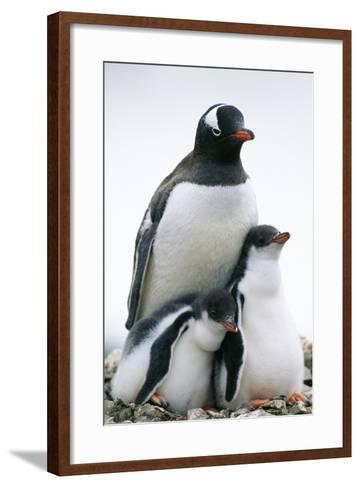 Gentoo Penguin Adult with Two Chicks--Framed Art Print