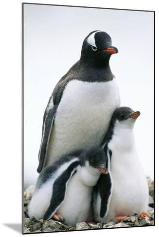 Gentoo Penguin Adult with Two Chicks--Mounted Photographic Print