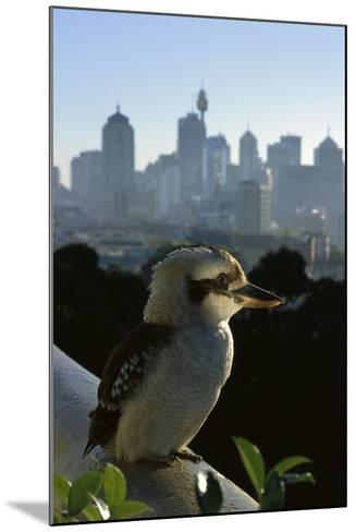 Laughing Kookaburra on City Balcony Rail--Mounted Photographic Print