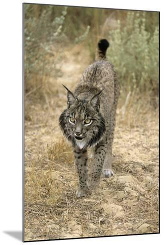 Pardel Lynx, Iberian Lynx--Mounted Photographic Print