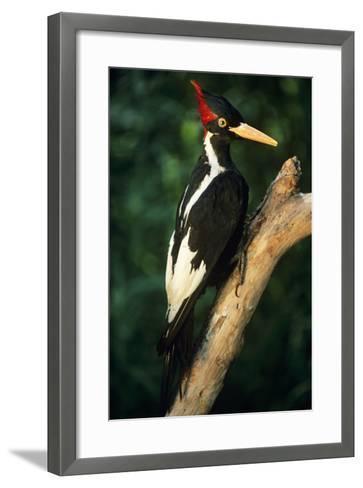 Extinct Bird Ivory-Billed Woodpecker (Mounted Specimen)--Framed Art Print
