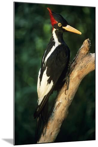 Extinct Bird Ivory-Billed Woodpecker (Mounted Specimen)--Mounted Photographic Print