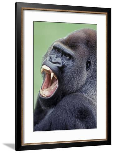 Lowland Gorilla Male with Mouth Open--Framed Art Print