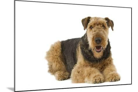 Airedale Terrier--Mounted Photographic Print