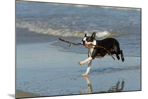 Boston Terrier Running in Sea with Stick--Mounted Photographic Print