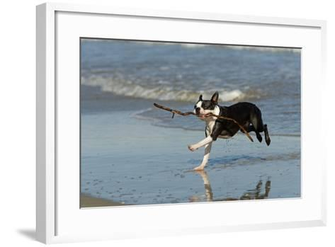 Boston Terrier Running in Sea with Stick--Framed Art Print