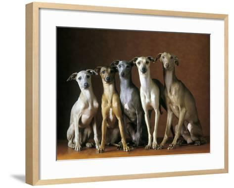 Small Italian Greyhounds Five Sitting Down Together--Framed Art Print