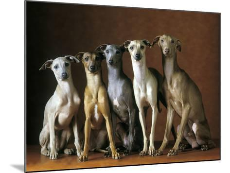 Small Italian Greyhounds Five Sitting Down Together--Mounted Photographic Print