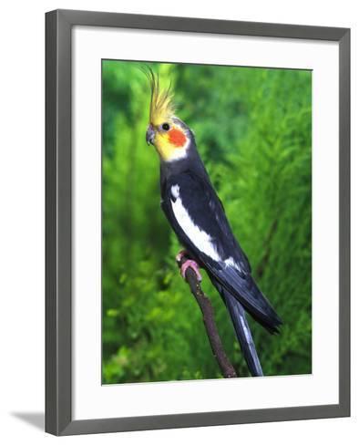 Cockatiel--Framed Art Print