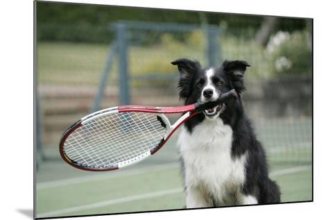Border Collie Holding Tennis Racket--Mounted Photographic Print