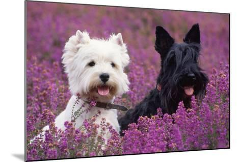 West Highland White Terrier and Scottish Terrier--Mounted Photographic Print