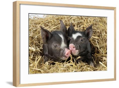 Pig Berkshire Piglet in Straw--Framed Art Print