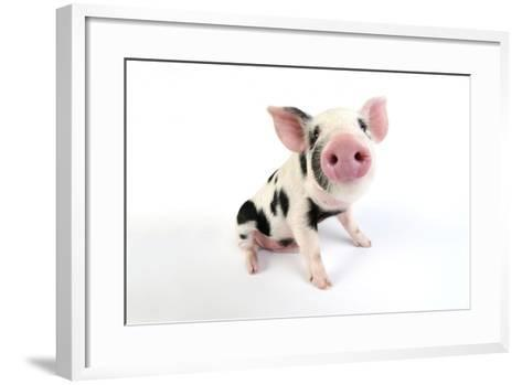 Pig Kune Kune Cross Gloucester Old Spot Piglet--Framed Art Print