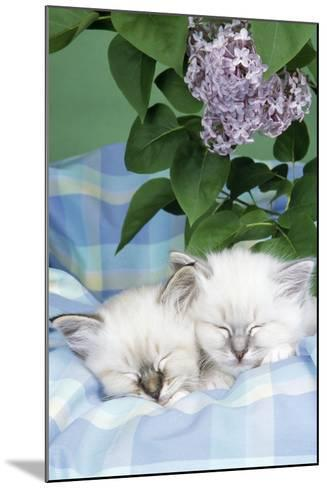 Seal Tabby and Blue Tabby Birman Kittens--Mounted Photographic Print