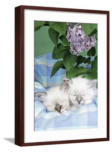 Seal Tabby and Blue Tabby Birman Kittens--Framed Art Print