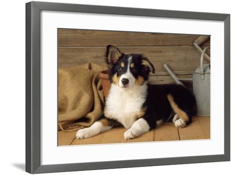 Border Collie Dog Puppy--Framed Art Print