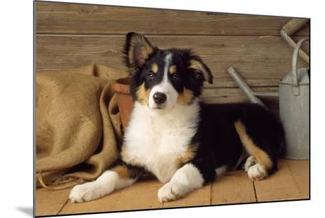 Border Collie Dog Puppy--Mounted Photographic Print