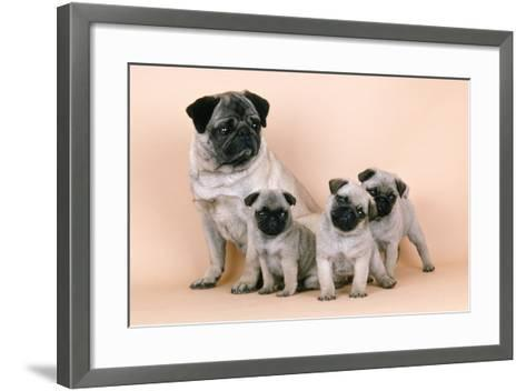 Pug Dog and 3 Puppies--Framed Art Print