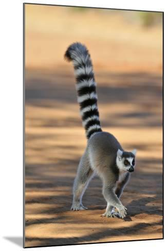 Ring-Tailed Lemur Walking with Tail Up--Mounted Photographic Print