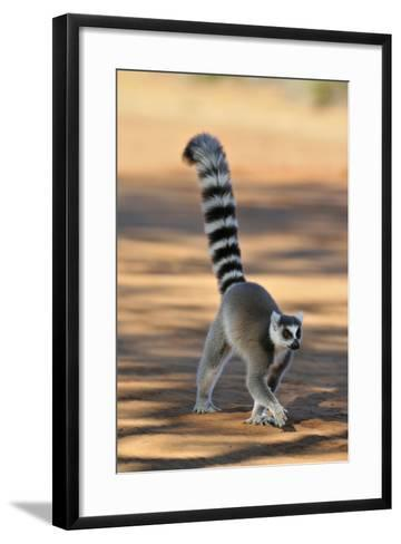 Ring-Tailed Lemur Walking with Tail Up--Framed Art Print