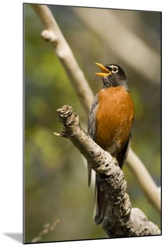 American Robin Calling--Mounted Photographic Print