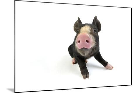 Berkshire Piglet Sitting Down--Mounted Photographic Print