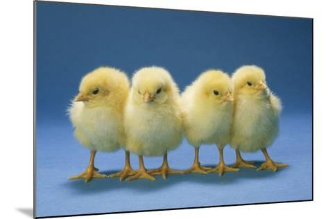 Chickens X4 Chicks--Mounted Photographic Print