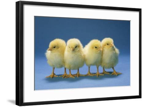 Chickens X4 Chicks--Framed Art Print